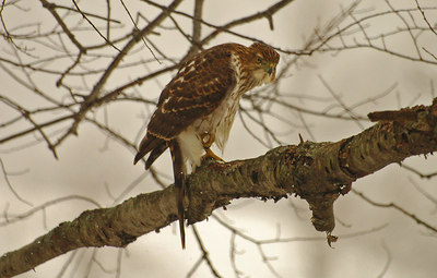 Coopers Hawk at home