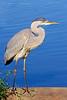 Great Blue Heron at Mill Pond,Wantagh,NY