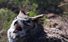 Great horned owl lets loose with a screech