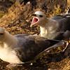 Eshaness, Shetland. D7000/ Nikon 500mm
