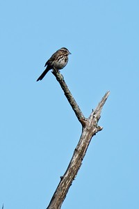 Song Sparrow, adult eastern - Melospiza melodia.