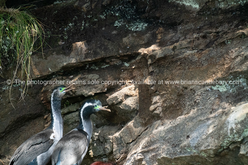 New Zealand spotted shag in breeding plumage at colony nesting site off Stewart Island.