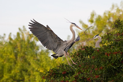 Great blue heron landing with stick for the nest