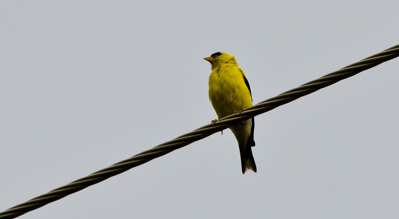 Not a great capture of the yellow finch but thus far, this is the best I've been able to do. These little guys are illusive!