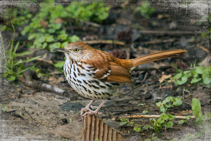 Happy to have a brown thrasher coming to the feeders in the back.