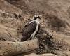 Osprey, Torrey Pines State Park