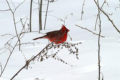 CardinalBlizzardWide_2905