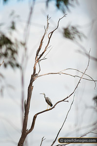 White-faced heron, a protected species in Australia. Other angles available.