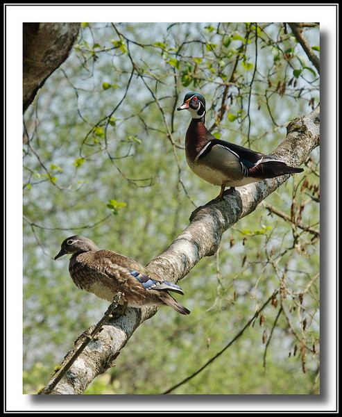 Wood Duck male & female in a tree as they are well known for.