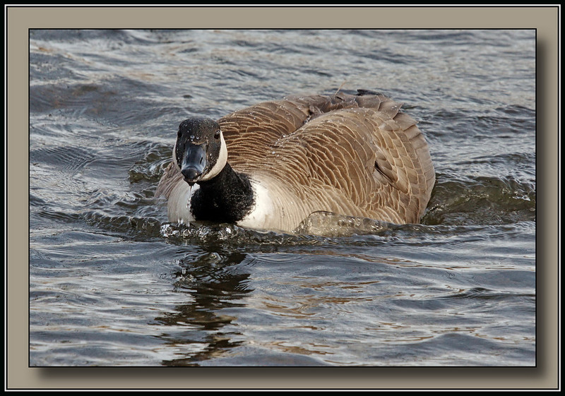 "One ticked off Canada Goose!  Time to take a step back....<br /> @ Burnaby Lake (w/ Sigma 50-500 ""Bigma"")"