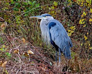 Great Blue Heron on Long Island, NY.