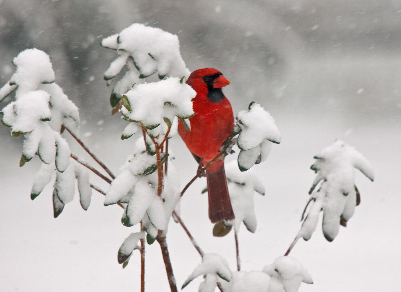 Backyard Cardinal in snow