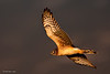 Northern Harrier 4 Against A Stormy Sky
