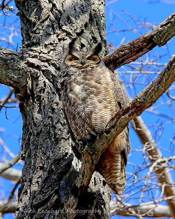 Great Horned Owl posing for me on Long Island, NY.
