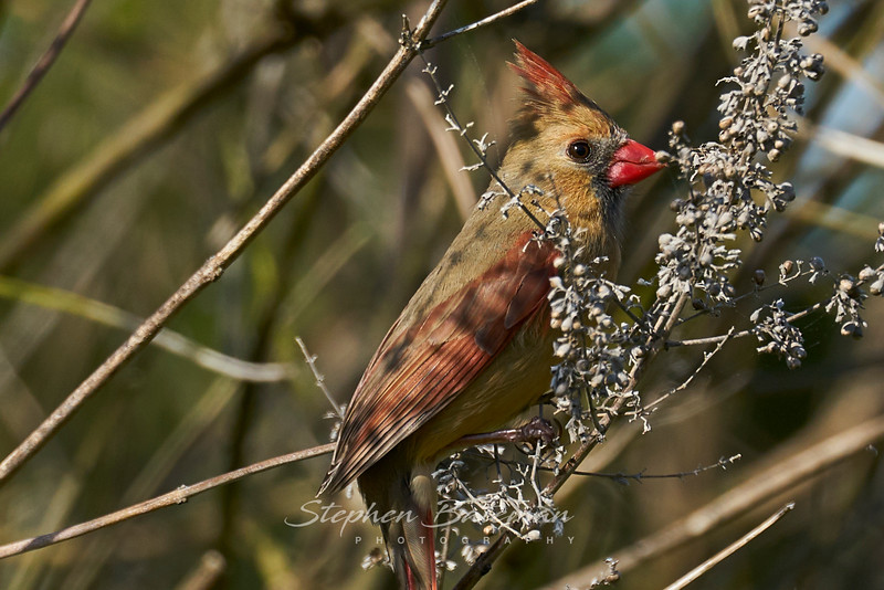 Cardinal Finch, Female