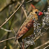 Cardinal Finch, Female