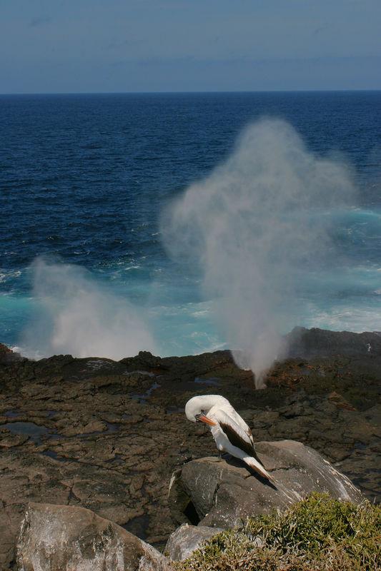 """""""Masked Booby at Blowhole"""" <br /> Galapagos Islands"""