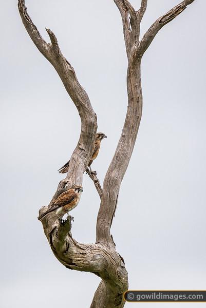 Brown Falcon Couple