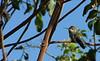Hummmingbird