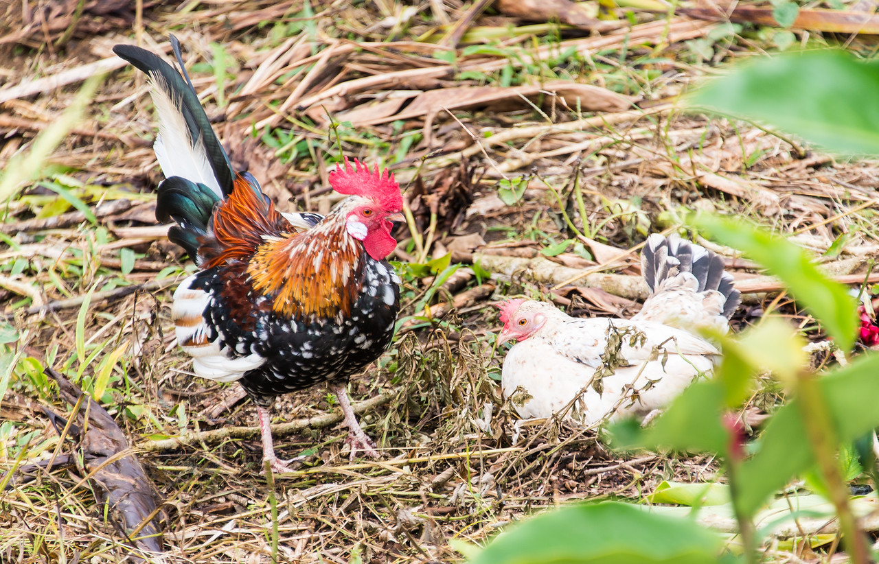 Wild rooster & chicken in Playas Del Coco, Costa Rica - December 2014