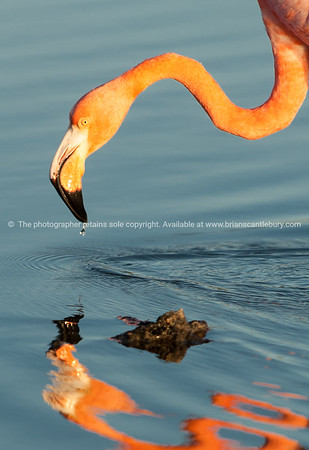Galapagos Islands, flamingo drinking.