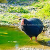 Takahe, rare New Zealand indigenous flightless bird