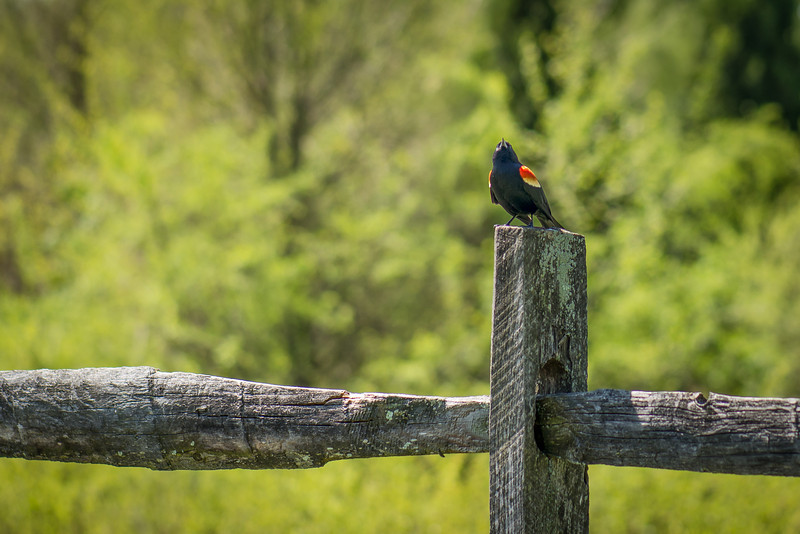Red-Winged Black Bird - Wilson Farm Park - May 2013