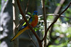 Turquoise Parrot (Neophema pulchella), Male