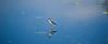 Black-necked Stilt,  St. Mark's Wildlife Refuge on Apalachee Bay, FL