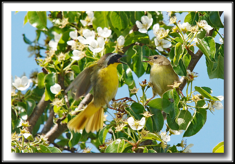 Common Yellowthroat  couple having a marital squabble @ Delta, BC
