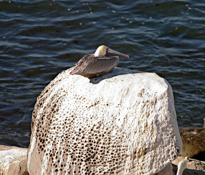 A single pelican is resting on the top of a large rock that has been bleached white by hundreds of other birds over time.