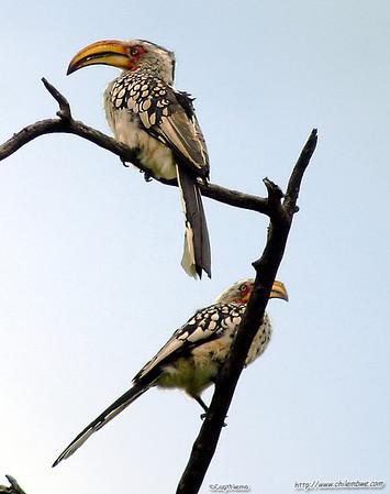 yellow hornbills