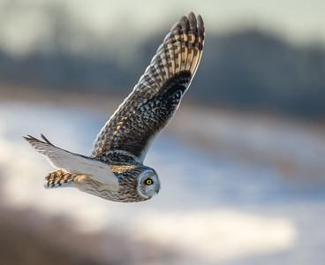 Short eared owl in flight -8093