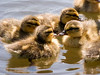 A group of four soft and fluffy baby ducks swimming in circles in a lake.