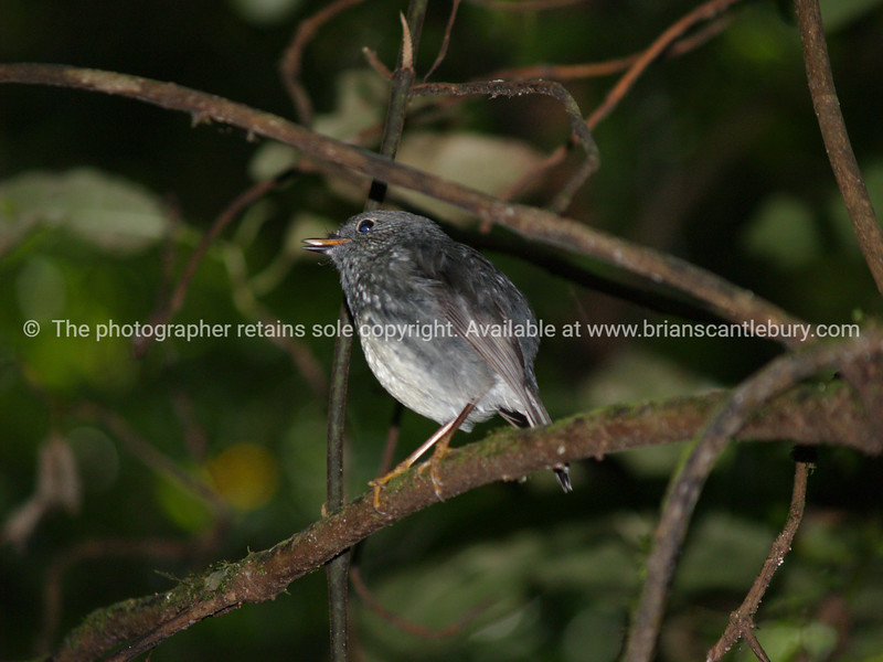 Nth Island robin-2