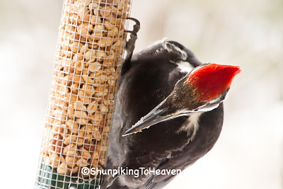 Female Pileated Woodpecker on Peanut Feeder, Dane County, Wisconsin
