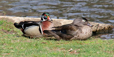 Pair of Wood Ducks at Gerry Park