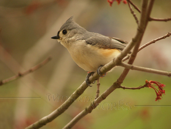 Rob's Tufted titmouse photo-- a maple tree in Hatfield [photo by Rob Yoder]