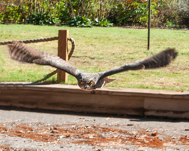 Owl in Flight at Callaway Gardens, GA