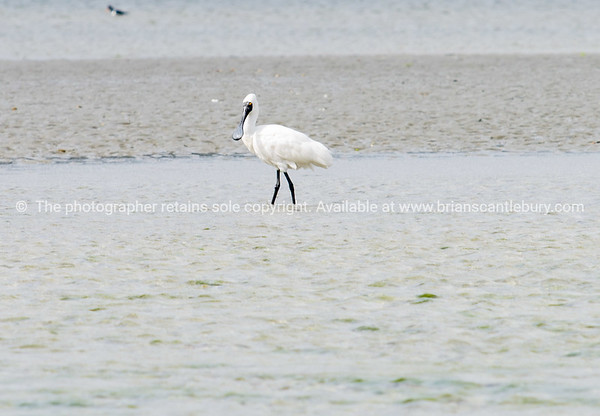 Royal spoonbill, South Island, New Zealand.