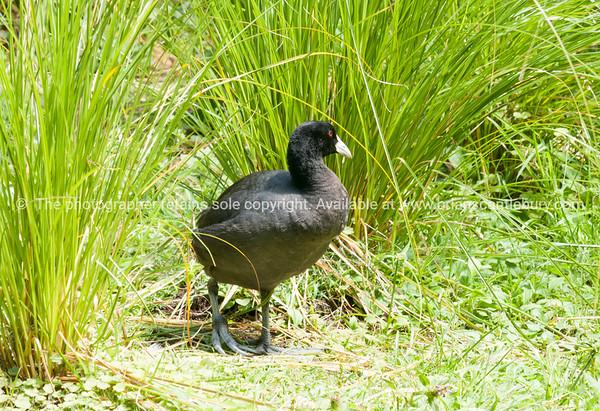 Australian Coot Virginia Lake Wanganui New Zealand