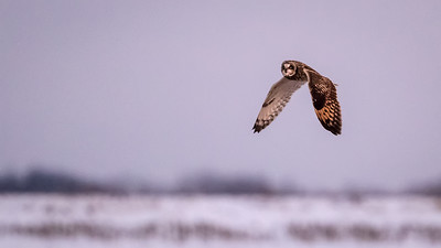 short eared owl in flight ISO 12800  enhanced 5273-