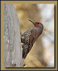 "Northern ""Red Shafted"" Flicker  @ Annacis Island (w/ Sigma 50-500 Bigma)"