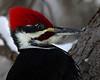 Pileated Woodpecker<br /> Edmonton, Alberta
