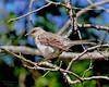 Mockingbird in Glen Cove,NY.