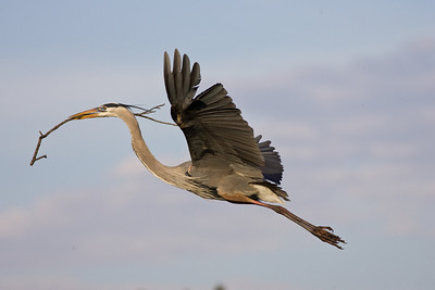 Great blue heron brings the right stick