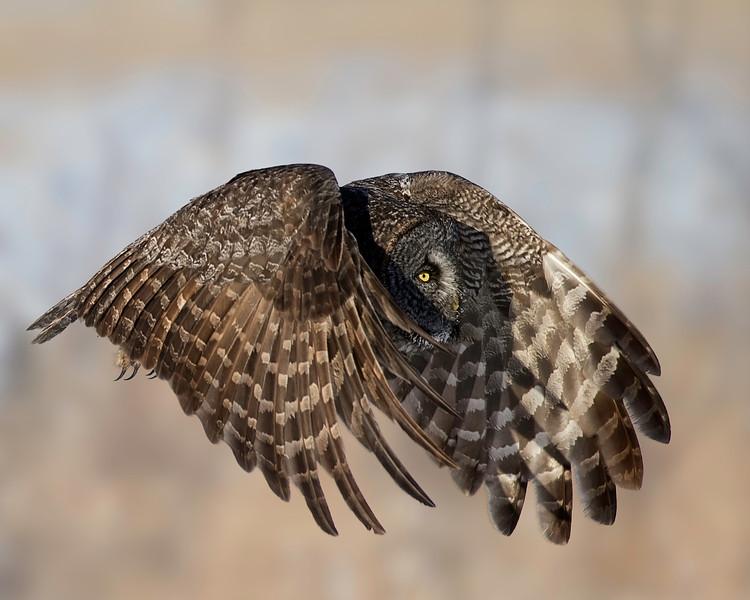 Great Gray Owl<br /> North of Edmonton, Alberta