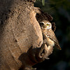 Owl in spot. Canon EOS 1D Mark4