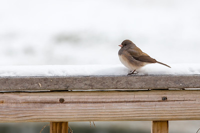 Dark Eyed Junco - One of the most abundant forest birds of North America, you'll see juncos on woodland walks as well as in flocks at your feeders or on the ground beneath them.
