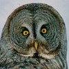 owlbluesnow01crop